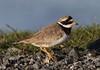 Common Ringed Plover (Charadrius hiaticula) 28.5.2013 (3) (wildlifelover69) Tags: commonringedplover charadriushiaticula outerhebrides scotland 2852013 birdswater