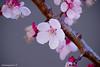 Japanese Apricot #7 (bluehazyjunem) Tags: japaneseapricot flowers tree plant macro