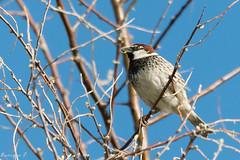 Gorrión moruno (Passer hispaniolensis) (Enrique Fernandez Fernandez) Tags: 2018 aves gorriónmoruno passerhispaniolensis safont toledo naturaleza