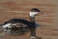 Slavonian Grebe (wildwalker3) Tags: slavoniangrebe grebe anglesey sunlight closeup nature natural spring nikon birdphotography diver
