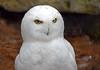 Snowy Glare (MTSOfan) Tags: snowyowl bird white stare glare lvz