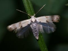 Elachista maculicerusella