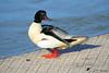 Harle bièvre ♂ (jean-daniel david) Tags: oiseau oiseaudeau nature rivière lathièle yverdonlesbains eau harlebièvre plongeur bleu blanc noir orange ponton animal