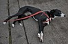 Resting (Scott 97006) Tags: dog canine animal pet lying rest cute