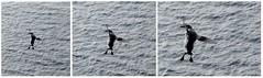 Landung***Landing (BrigitteE1) Tags: trottellumme guillemot uriaaalge inselhelgoland helgoland heligoland nordsee northsea germansea germany deutschland vogel bird