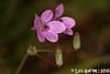 Geranium sp. (Luís Gaifém) Tags: geraniumsp geraniaceae luísgaifém macro natureza nature planta plantae flor flower castelodeneiva