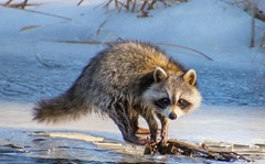 7K8A7702 (rpealit) Tags: scenery wildlife nature great swamp national refuge young raccoon