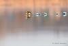 Grébe castagneux - Tachybaptus ruficollis (PatNik01) Tags: france bugey eau grebecastagneux oiseau rhône tachybaptusruficollis bird nikon fleuve