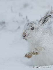 Mountain hare, ( Lepus timidus) (Gowild@freeuk.com) Tags: cairngormnationalpark lepustimidus winter scotland snow mountainhare hare mammal animal british uk wild wildlife mountain cairngorm nationalpark shaking closeup andrewmarshall nikon