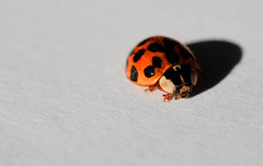 Asian Ladybeetle (Dan Haug) Tags: harmoniaaxyridis asianladybeetles ladybug annoying macro monday xh1 fujifilm xf80mmf28rlmoiswrmacro xf80mm closeup shadow