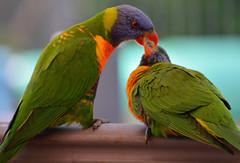 Feeding time_1944 (gtveloce) Tags: feedingtime lorikeets rainbow centralcoast nsw australia birds