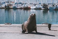 Sunbathing (soomness) Tags: capetown simonstown southafrica travelphotography seal seals water fujifilmxt2 fujifilm fujinon fuji xt2 xseries xf55200mmf3548rlmois