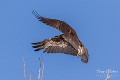 Male Osprey landing sequence - 13 of 28
