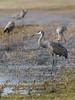 IMGPJ32872A_Fk - Sandhill Cranes - Bird Migration - Ewing Bottoms - Brownstown Indiana (David L. Black) Tags: jacksoncountyindiana birds sandhillcranes olympusomdem1mkii olympus300f4014xtc