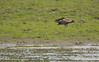 Greater Spotted Eagle (pointn'click) Tags: kaziranga forest wildlife sanctuary birds