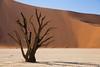Deadvlei (Puma 68) Tags: sigma24105 sigmaart24105mmf4dgoshsm africa namibia sossusvlei deserto sabbia deadvlei sesriem namib namibnaukluft namibnaukluftnationalpark acacia duna dune sand desert pan