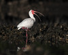 White Ibis in Breeding Colors #2 - New Smyrna Backwaters (mark bochiardy images) Tags: whiteibis breedingcolors newsmyrnabeach florida backwaters markbochiardy