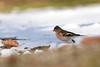 Chaffinch (Photo & Nature) Tags: chaffinch birds nature wildlife wild bamberg deutschland nikor 200500 nikon d3300 buchfink snow winter vögel animal