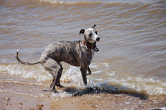 170731 Hunstanton-0090 (whitbywoof) Tags: rupert rescue pet dog whippet lurcher staffie sea beach