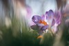 Barely survived (Joe Effendi (Always Late!)) Tags: effendi fujifilm fujix xt10 fuji nature natuur flora flower bloem crocus krokus closeup macro manuallens vintagelens m42 pentaflexcolor50mmf28 50mm dof bokeh depthoffield classicchrome march 2018 outdoor