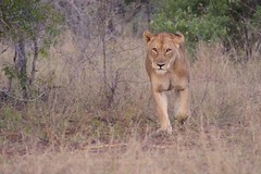 "I'm Going Hunting"" (The Spirit of the World ( On and Off)) Tags: lioness lion female cat feline bigcat nature wildlife africa southafrica gamereserve gamedrive bush grasses stalking ngc"