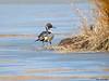 Northern Pintail (Corine Bliek) Tags: anasacuta bird birds vogels vogel migratory water lake meer eenden ducks wildlife nature natuur ice frozen