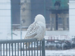 Snowy Owl 9 (D. S. Hałas) Tags: halas hałas canada ontario haltonregion haltoncounty oakville chordata sarcopterygii aves strigiformes strigidae buboscandiacus nycteascandiaca snowyowl owl bird