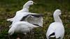 "Hazardous flapping (""DUCK!"") (PChamaeleoMH) Tags: anatidae birds centrallondon flapping geese london rosssgeese stjamesspark"