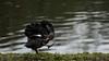 Preening Pilates (PChamaeleoMH) Tags: anatidae birds blackswans centrallondon london stjamesspark swans