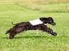 CoursingVillaverla2016w-062 (Jessica Sola - Overlook) Tags: dogs sighthounds afghanhounds greyhounds saluki barzoi italiangreyhounds irishwolfhounds lurecoursing lure race run dograces field greengrass