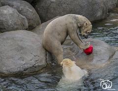wildlands-emmen-2 (voorhammr) Tags: 2018 juul robin apen emmen giraffen ijsberen neushoorn nijlpaard pinquins prairiehonden vlinders wildlands zeeleeuwen zoo drenthe nederland nl