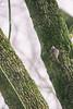 The Creeper (kristianoosterveen) Tags: certhia brachydactyla boomkruiper shorttoed treecreeper boom kruiper bomen bos park amstel amsterdam noordholland north noord holland nederland the netherlands short toed tree creeper trees forest branch stem stam tak takken mos bird birdy vogel groen green white macro zoom wit bast bark