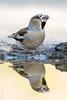 Picogordo(Coccothraustes coccothraustes)| (Elprimodeheman) Tags: reflejos fotografia passeriformes aves retrato animales picogordococcothraustescoccothraustes lugares hide
