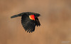 Red-winged Blackbird (male) (salmoteb@rogers.com) Tags: bird wild outdoor nature redwinged blackbird male wildlife toronto ontario canada inflight