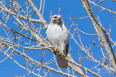 A slightly leutistic Red-tailed Hawk