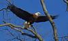 Bald Eagle (kconnelly03) Tags: baldeagle nj newjersey