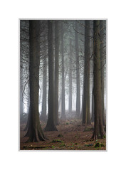 What lies beneath. (John Dominick) Tags: earth woods west sussex south downs national park woodland pine trees mist