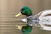 Mallard  -  Stockente  ♂︎ (CJH Natural) Tags: lenstagger mallard stockente ♂︎ ente duck reflection green profile portrait swim water pov perspective still calm beauty beautiful lovely fantastic wonderful pose