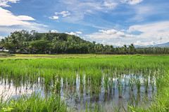 Duck in the Rice fields (vincent.lecolley) Tags: duck hide asia philippines negrosoriental dumaguete ricefield culture agriculture world travel d3300 nikon