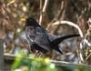 DSC_1013 (Levitt Parkes) Tags: nikon d600 sigma 150500mm hsm os blackbird