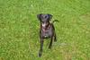 Blacky (Cata Guzman) Tags: dogs adoptado criollo
