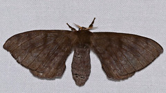 Silk Moth (Bombycidae, Id ?) (berniedup) Tags: kaw roura guyane moth silkmoth bombycidae
