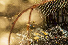 Sunlit Web (Mark Wasteney) Tags: happywebwednesday hww web cobweb silk spider backlit backlighting colours bokeh nature
