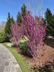 Spring at the Arboretum - 2018 (gttexas) Tags: 2018 arboretum chineseredbud dallas tx texas flower richardson usa us
