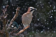 DSC_6364 Vive le printemps ! (sylvettet) Tags: neige snow geai jay 2018 nature