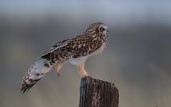 Short eared owl (knobby6) Tags: shortearedowl shorty birdofprey nikond5 600mm raptor california
