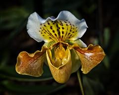 The Emperor (MrBlueSky*) Tags: orchid flower petal garden horticulture nature colour kewgardens royalbotanicgardens london pentax pentaxart pentaxlife pentaxk1 pentaxawards pentaxflickraward aficionados paphiopedilum