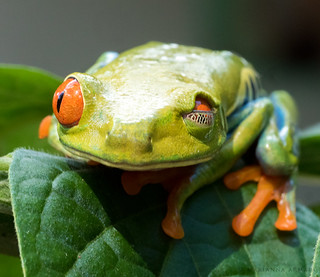 winking frog