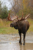 Large Bull Moose Visiting A Puddle For A Drink (AlaskaFreezeFrame) Tags: moose bull bullmoose canon alaska alaskafreezeframe anchorage nature outdoors wildlife 70200mm mammals herbivore antlers animals fall trees plants rut dangerous velvet telephoto spring summer autumn closeup portrait puddle mudpuddle