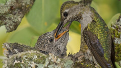 Hummingbird Mom With Fortnight Old Younsters (photosauraus rex) Tags: hummingbird hummingbirdyoung annahummingbird vancouver bc canada